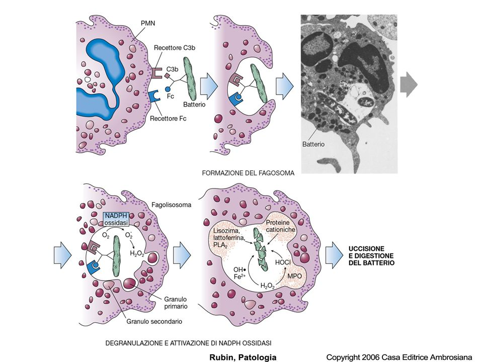 Uccisione del batterio: meccanismi legati alla produzione metaboliti dellossigeno: Anione superossido (O - 2 ) per attivazione dellNADPH ossidasi nella membrana cellulare dei PMN Perossido di idrogeno (H 2 O 2 ),dentro i fagolisosomi ad opera della superossido dismutasi Ipoclorito, da perossido ad opera della mieloperossidasi secreta dai granuli durante lesocitosi Radicale ossidrile (OH.), per riduzione del perossido in presenza di ione ferroso genera potente azione battericida Ossido nitrico, può reagire con altri radicali dellossigeno a formare molecole tossiche oppure può aiutare nelleliminazione dellanione superossiso