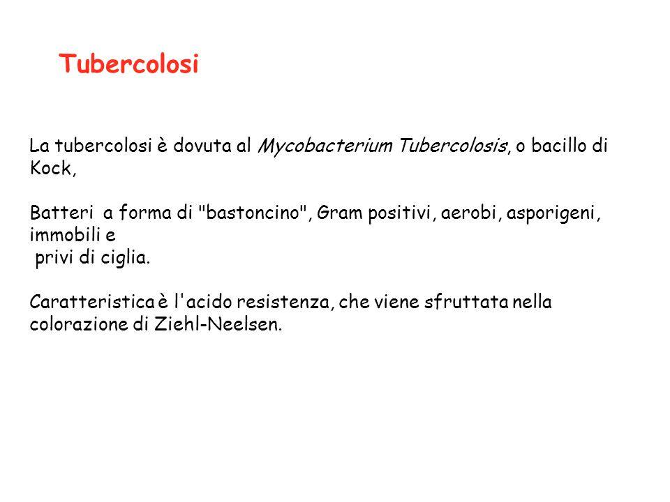 La tubercolosi è dovuta al Mycobacterium Tubercolosis, o bacillo di Kock, Batteri a forma di