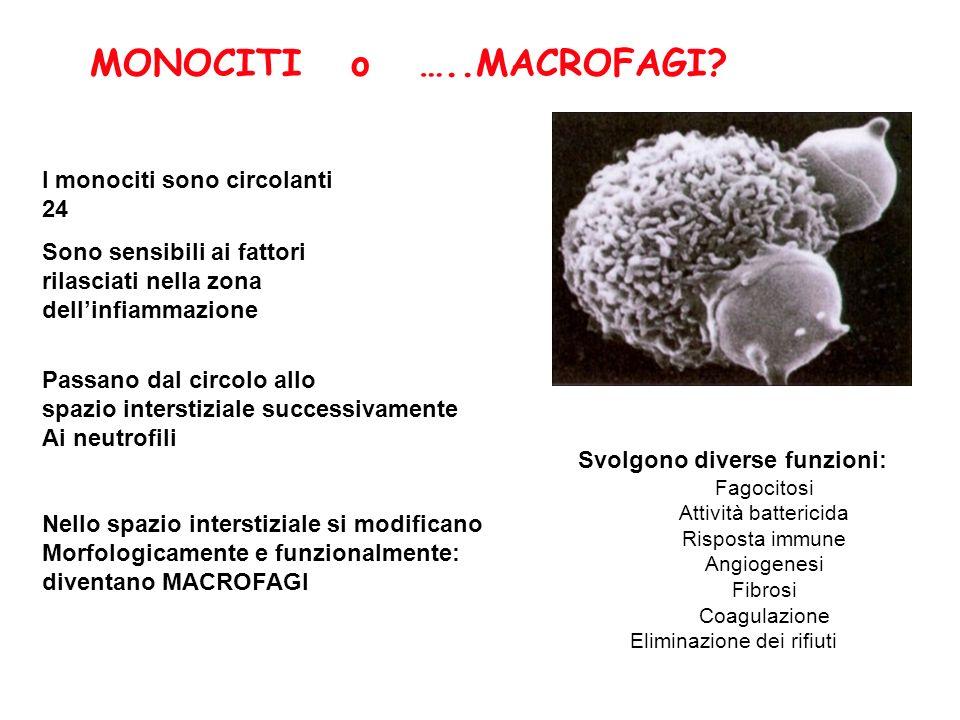 MONOCITI o …..MACROFAGI? Svolgono diverse funzioni: Fagocitosi Attività battericida Risposta immune Angiogenesi Fibrosi Coagulazione Eliminazione dei