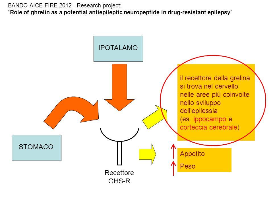PROGETTO OBIETTIVO: studiare la fisiopatologia dellepilessia farmaco- resistente e il ruolo della grelina come potenziale neuropeptide antiepilettico IPOTESI: -Riscontro di bassi livelli ematici di grelina nei pazienti con epilessia farmaco-resistente -Correlazione fra grelina ed eccitabilità corticale studiata mediante metodica di Stimolazione Magnetica Transcranica (TMS) BANDO AICE-FIRE 2012 - Research project: Role of ghrelin as a potential antiepileptic neuropeptide in drug-resistant epilepsy