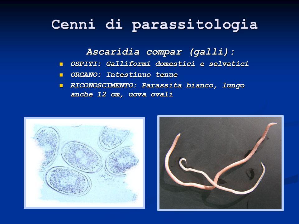 Parassitismo: Ascaridia sp 1999-2003 Prealpes Alpes Jeunes Adultes P=0,022 P=0,002 P=0,014 Comprensori Età