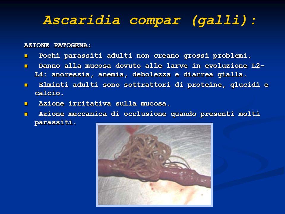 Heterakis gallinarum: OSPITI: Galliformi domestici e selvatici.