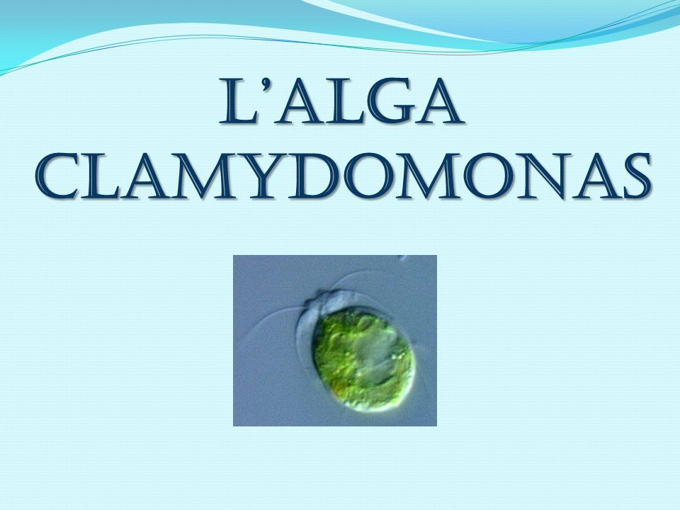 LalgaClamydomonas