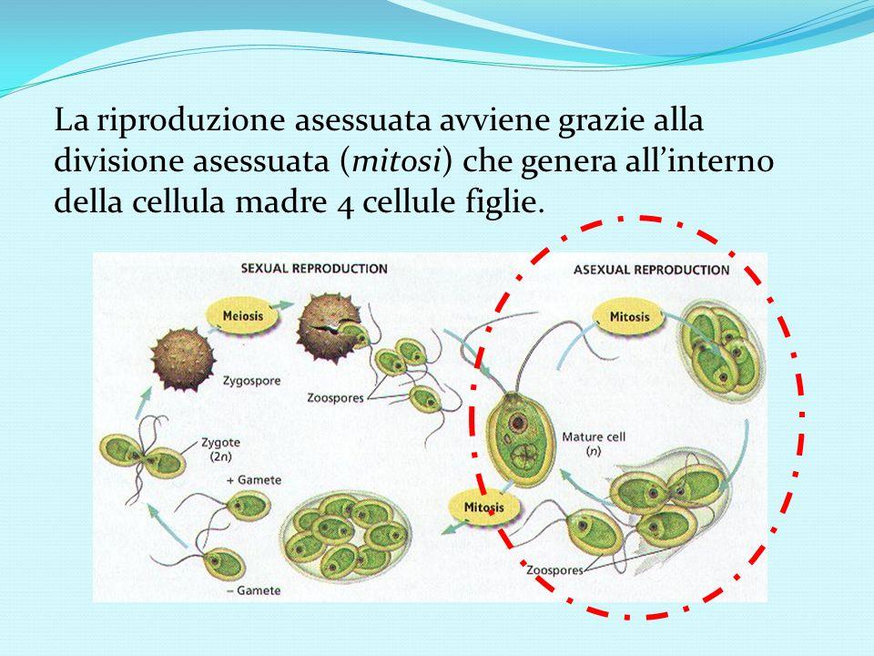 La riproduzione asessuata avviene grazie alla divisione asessuata (mitosi) che genera allinterno della cellula madre 4 cellule figlie.