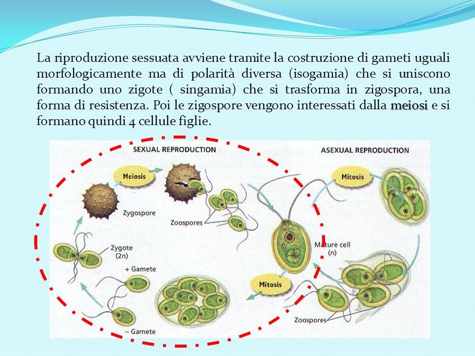 meiosi La riproduzione sessuata avviene tramite la costruzione di gameti uguali morfologicamente ma di polarità diversa (isogamia) che si uniscono formando uno zigote ( singamia) che si trasforma in zigospora, una forma di resistenza.