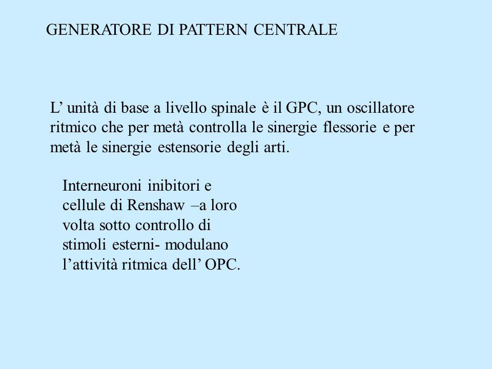 GENERATORE DI PATTERN CENTRALE L unità di base a livello spinale è il GPC, un oscillatore ritmico che per metà controlla le sinergie flessorie e per m