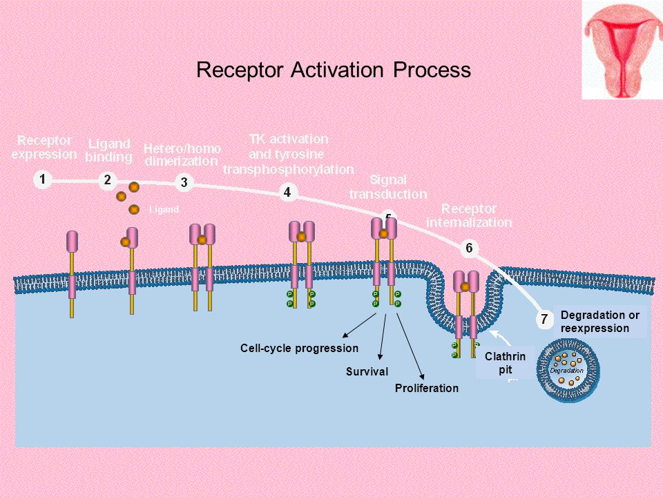 Receptor Activation Process Survival Proliferation Cell-cycle progression P P P P P P P P P P P P Ligand Clathrin pit Degradation or reexpression