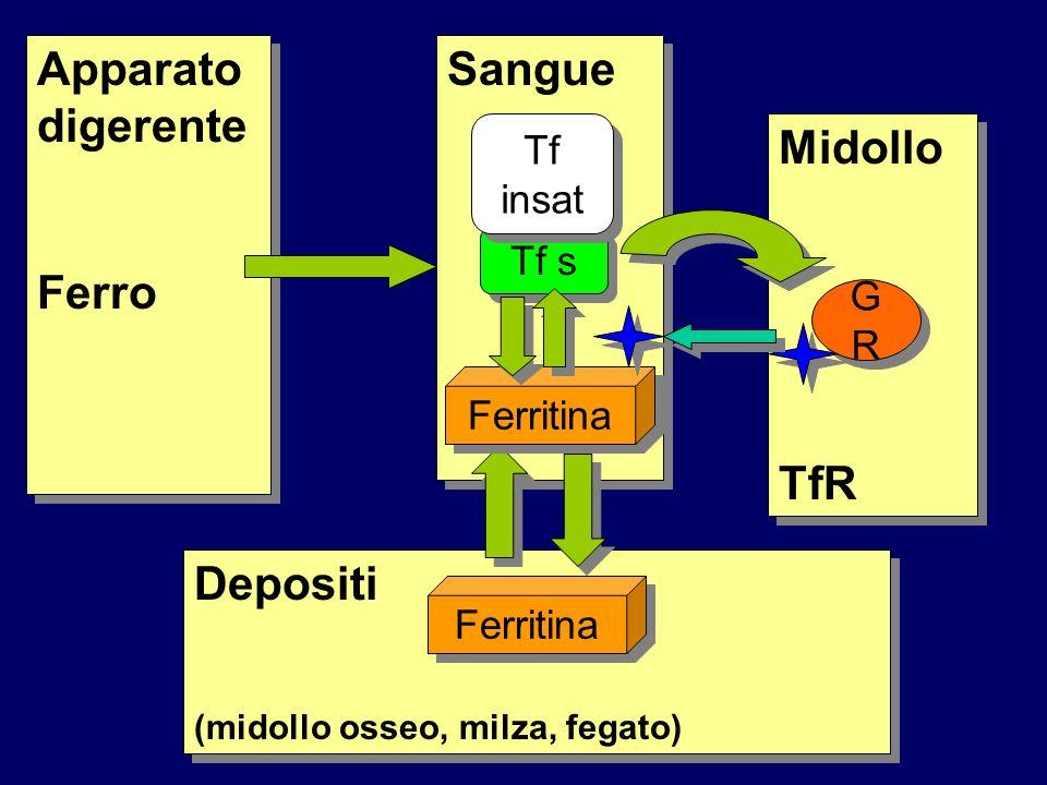 Apparato digerente Ferro Apparato digerente Ferro Sangue Midollo TfR Midollo TfR GRGR GRGR Depositi (midollo osseo, milza, fegato) Depositi (midollo osseo, milza, fegato) Tf s Ferritina Tf insat
