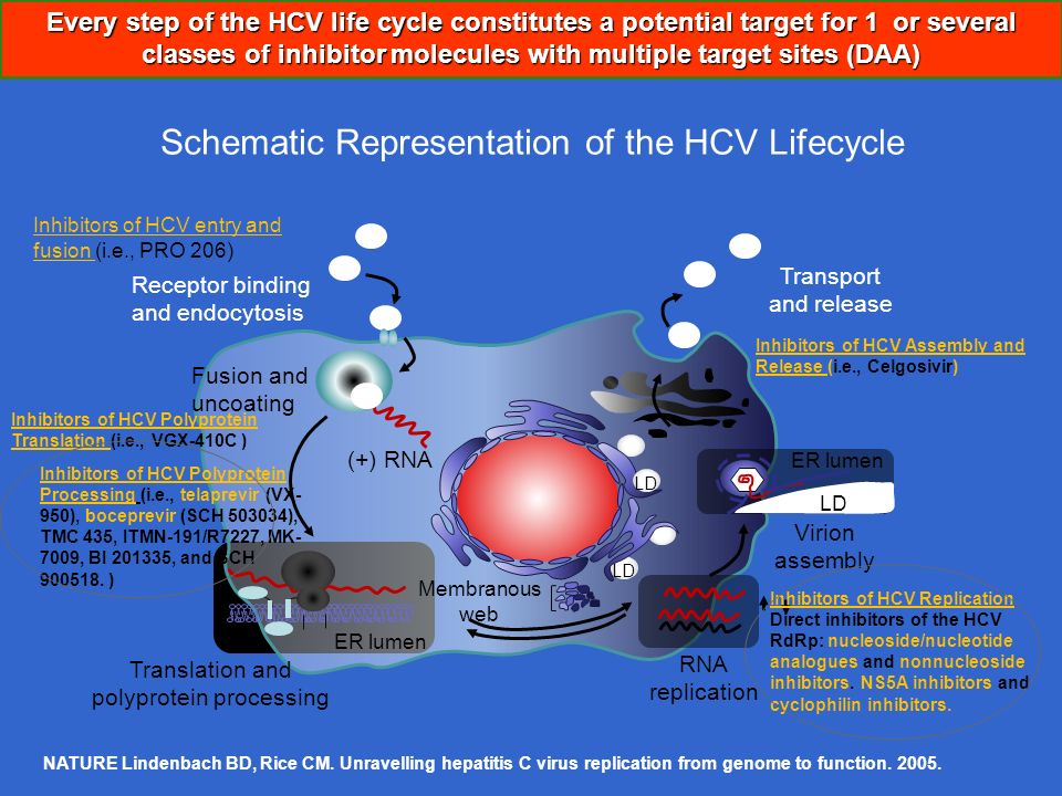 Schematic Representation of the HCV Lifecycle NATURE Lindenbach BD, Rice CM. Unravelling hepatitis C virus replication from genome to function. 2005.