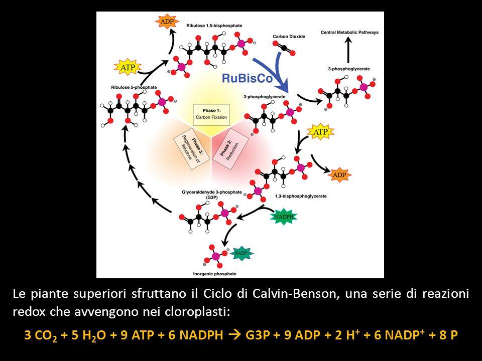 Le piante superiori sfruttano il Ciclo di Calvin-Benson, una serie di reazioni redox che avvengono nei cloroplasti: 3 CO 2 + 5 H 2 O + 9 ATP + 6 NADPH