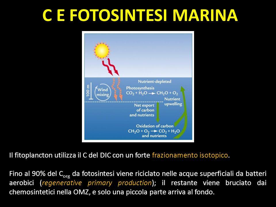 C E FOTOSINTESI MARINA Il fitoplancton utilizza il C del DIC con un forte frazionamento isotopico. Fino al 90% del C org da fotosintesi viene riciclat