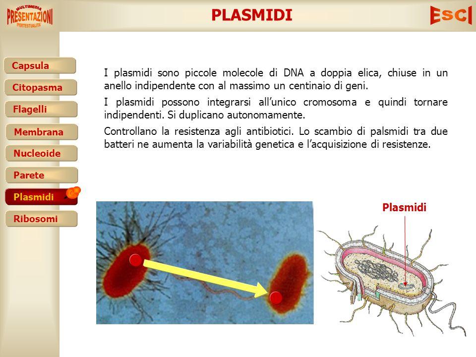 Capsula Citopasma Membrana Nucleoide Parete Plasmidi Ribosomi Flagelli PARETE CELLULARE La parete cellulare circonda esternamente la cellula: è una st