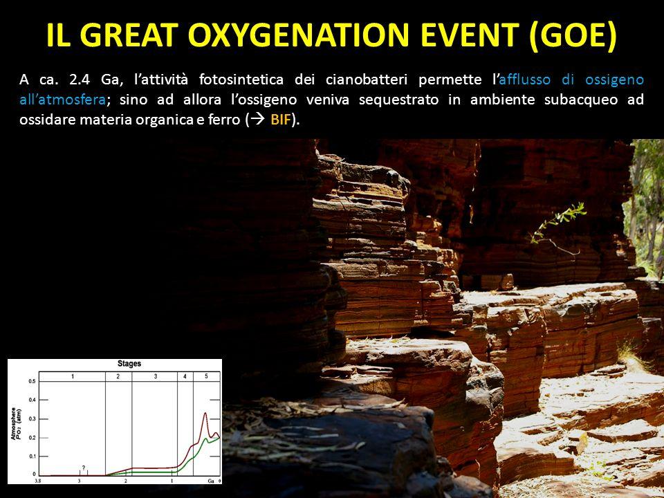 IL GREAT OXYGENATION EVENT (GOE) A ca. 2.4 Ga, lattività fotosintetica dei cianobatteri permette lafflusso di ossigeno allatmosfera; sino ad allora lo