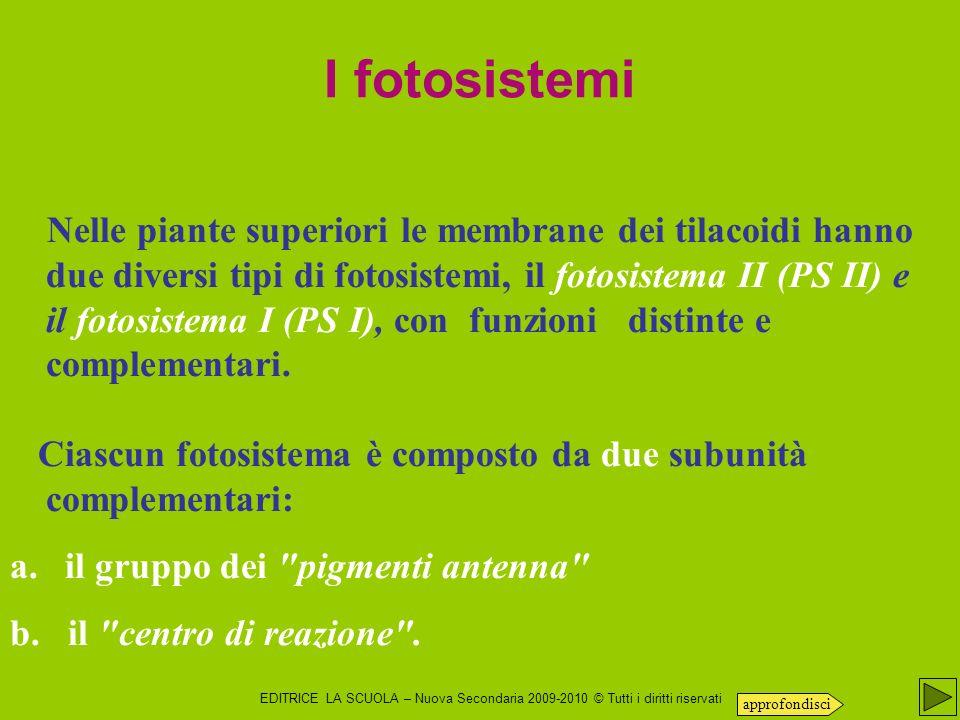 EDITRICE LA SCUOLA – Nuova Secondaria 2009-2010 © Tutti i diritti riservati Nelle piante superiori le membrane dei tilacoidi hanno due diversi tipi di fotosistemi, il fotosistema II (PS II) e il fotosistema I (PS I), con funzioni distinte e complementari.