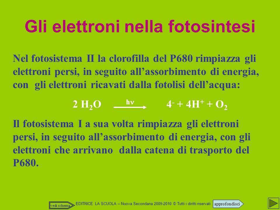 EDITRICE LA SCUOLA – Nuova Secondaria 2009-2010 © Tutti i diritti riservati Nel fotosistema II la clorofilla del P680 rimpiazza gli elettroni persi, in seguito allassorbimento di energia, con gli elettroni ricavati dalla fotolisi dellacqua: 2 H 2 O h 4 - + 4H + + O 2 Il fotosistema I a sua volta rimpiazza gli elettroni persi, in seguito allassorbimento di energia, con gli elettroni che arrivano dalla catena di trasporto del P680.