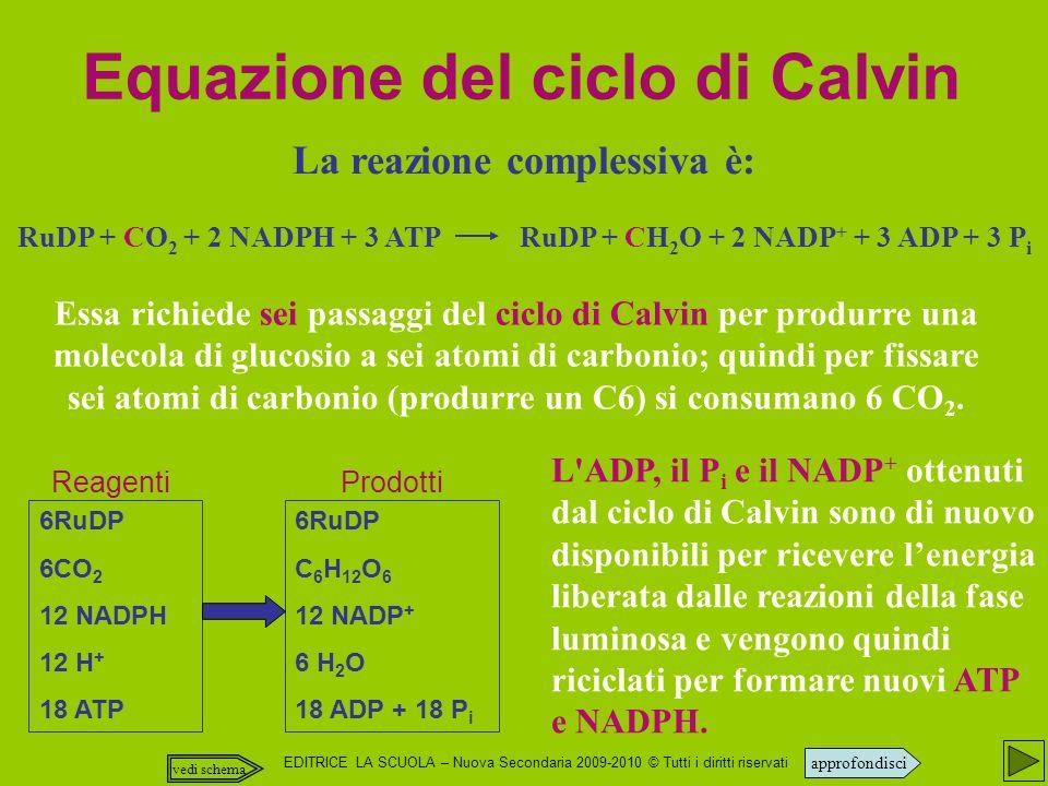 EDITRICE LA SCUOLA – Nuova Secondaria 2009-2010 © Tutti i diritti riservati La reazione complessiva è: RuDP + CO 2 + 2 NADPH + 3 ATP RuDP + CH 2 O + 2 NADP + + 3 ADP + 3 P i Equazione del ciclo di Calvin Essa richiede sei passaggi del ciclo di Calvin per produrre una molecola di glucosio a sei atomi di carbonio; quindi per fissare sei atomi di carbonio (produrre un C6) si consumano 6 CO 2.