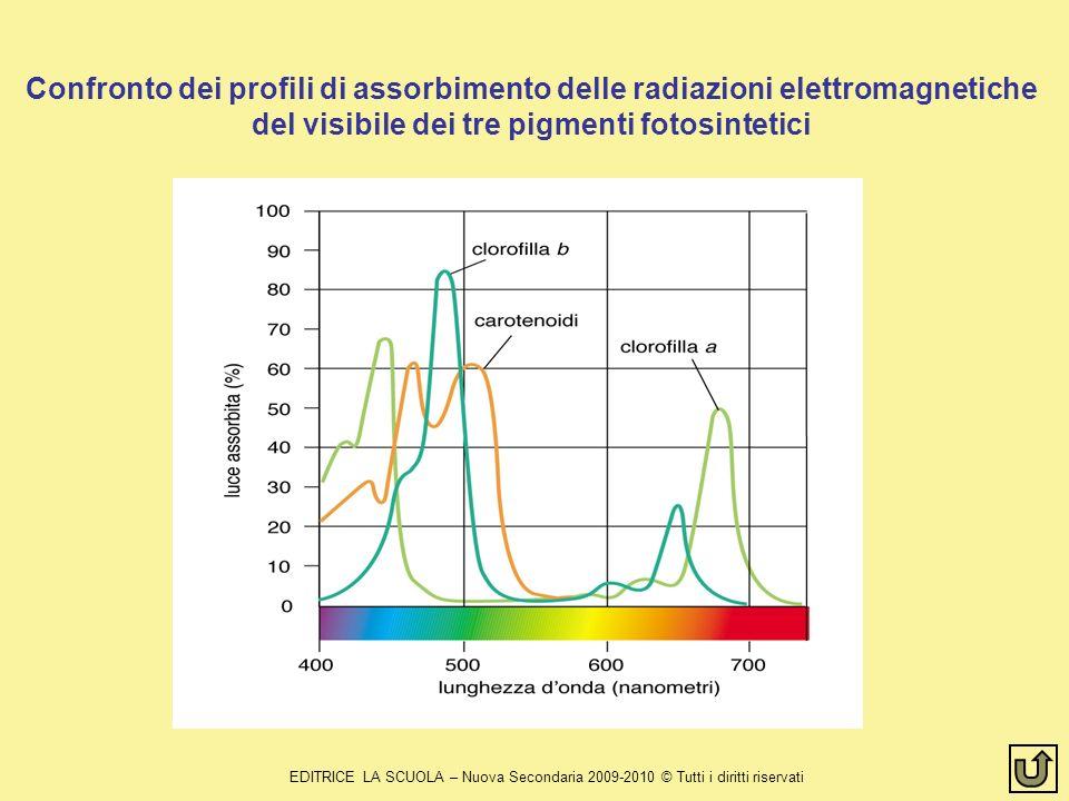 EDITRICE LA SCUOLA – Nuova Secondaria 2009-2010 © Tutti i diritti riservati Confronto dei profili di assorbimento delle radiazioni elettromagnetiche del visibile dei tre pigmenti fotosintetici