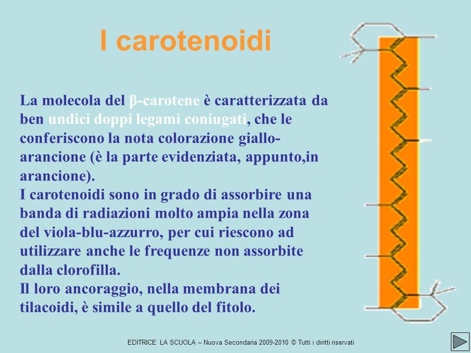 EDITRICE LA SCUOLA – Nuova Secondaria 2009-2010 © Tutti i diritti riservati I carotenoidi La molecola del β-carotene è caratterizzata da ben undici doppi legami coniugati, che le conferiscono la nota colorazione giallo- arancione (è la parte evidenziata, appunto,in arancione).