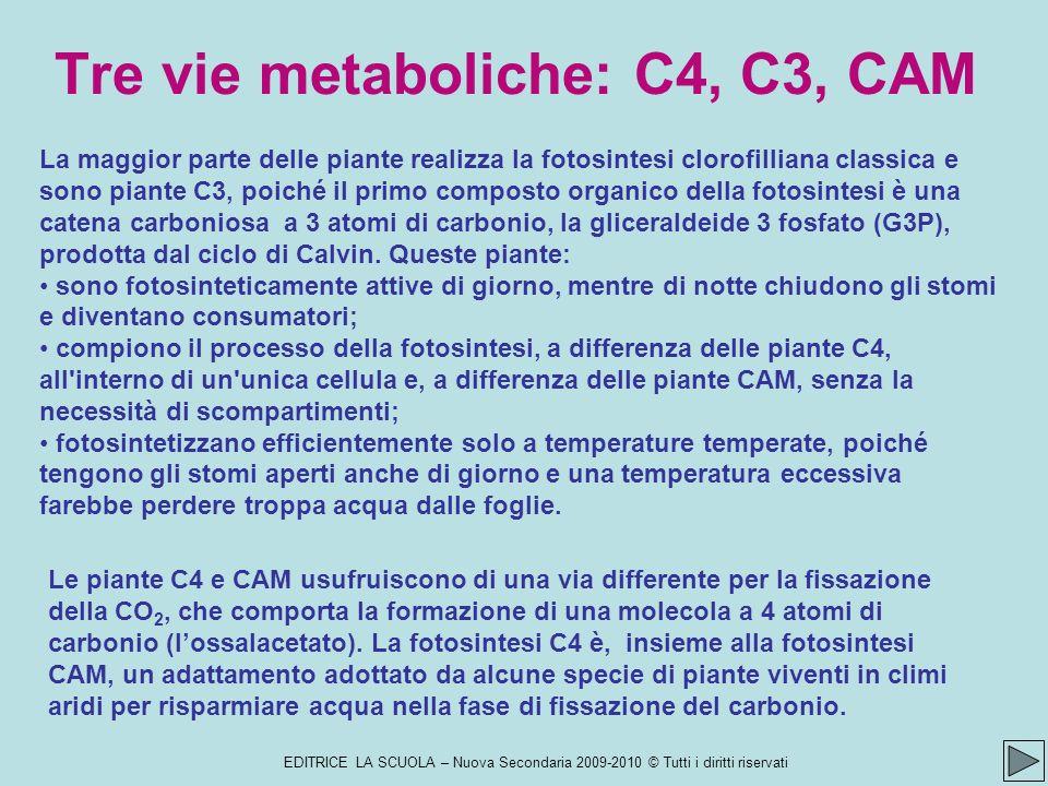 EDITRICE LA SCUOLA – Nuova Secondaria 2009-2010 © Tutti i diritti riservati La maggior parte delle piante realizza la fotosintesi clorofilliana classica e sono piante C3, poiché il primo composto organico della fotosintesi è una catena carboniosa a 3 atomi di carbonio, la gliceraldeide 3 fosfato (G3P), prodotta dal ciclo di Calvin.