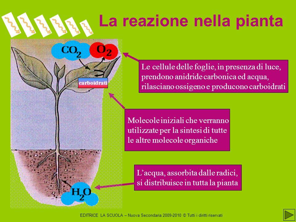 EDITRICE LA SCUOLA – Nuova Secondaria 2009-2010 © Tutti i diritti riservati L equazione globale della fase luminosa della fotosintesi si può rappresentare: H 2 O + NADP + + ADP + P i hν 1/2 O 2 + NADPH + H + + ATP in cui l H 2 O funge da donatore di elettroni, il coenzima NADP + da accettore; P i è il fosfato inorganico che nel legame con ADP accumula energia chimica Riassumiamo la fase luminosa I prodotti sono NADPH, ATP e O 2.