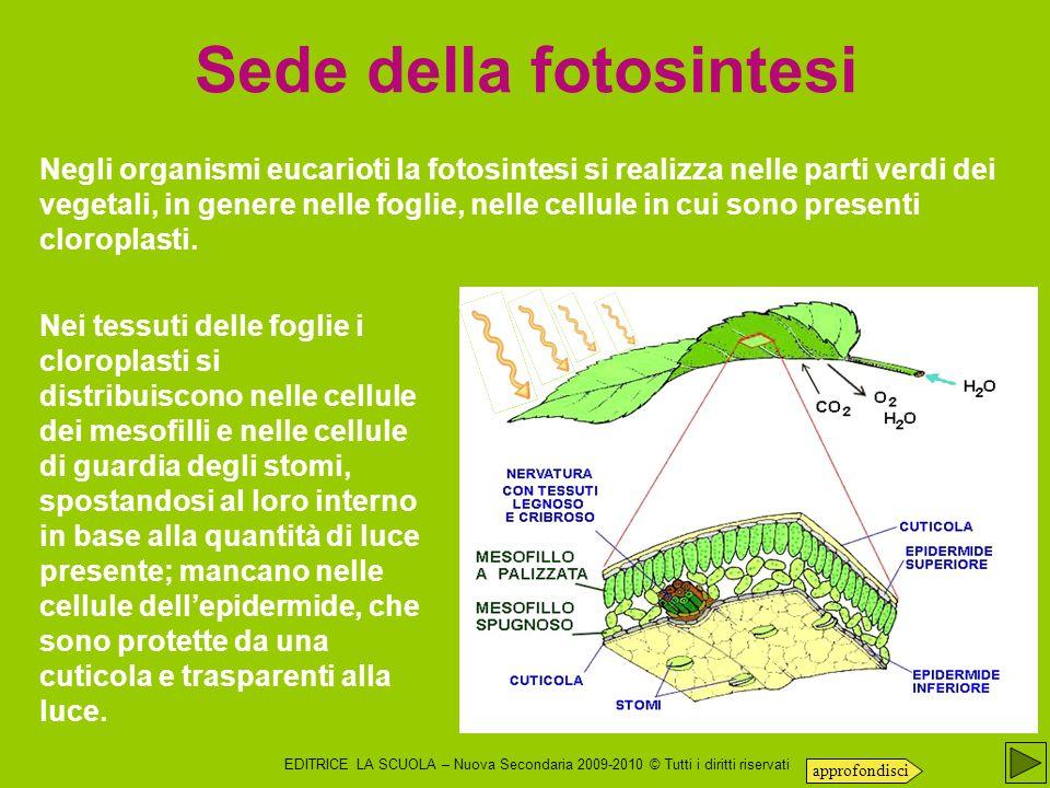 EDITRICE LA SCUOLA – Nuova Secondaria 2009-2010 © Tutti i diritti riservati Gli stomi Le uniche cellule dell epidermide ricche di cloroplasti (e quindi in grado di svolgere la fotosintesi) sono proprio le cellule di guardia degli stomi.