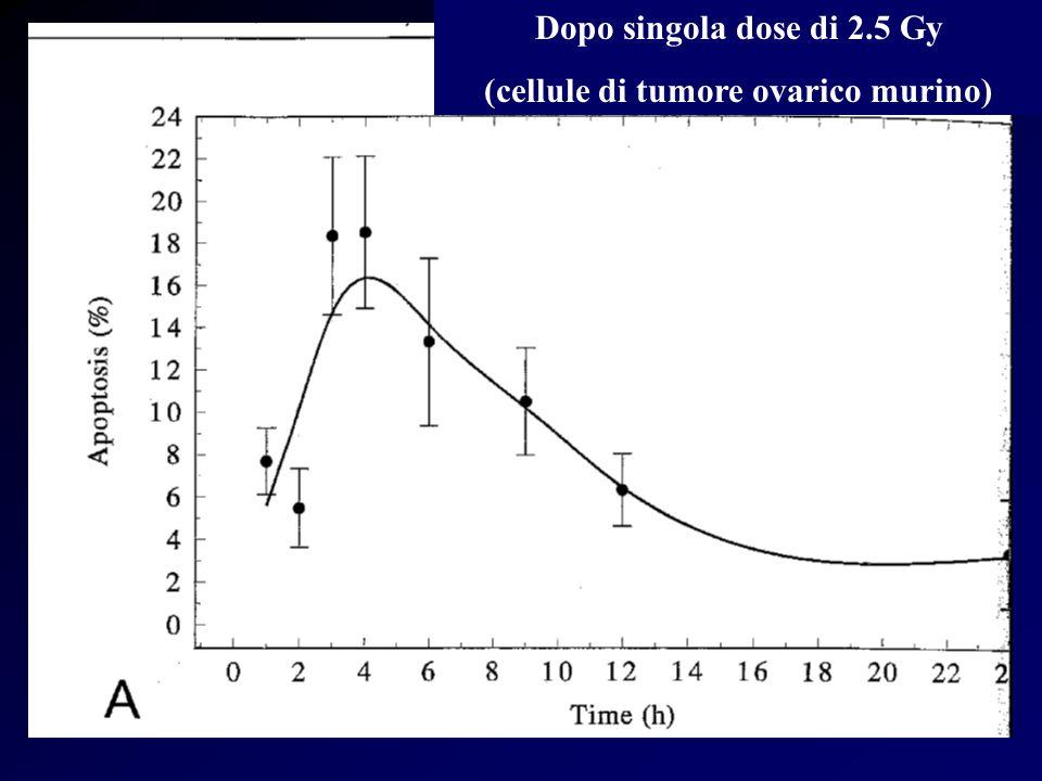 Dopo singola dose di 2.5 Gy (cellule di tumore ovarico murino)