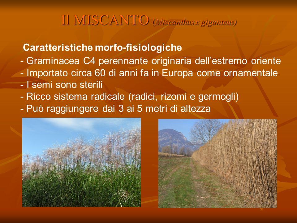 Il MISCANTO (Miscanthus x giganteus) - Graminacea C4 perennante originaria dellestremo oriente - Importato circa 60 di anni fa in Europa come ornament