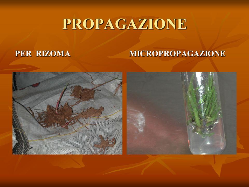 PROPAGAZIONE PER RIZOMA MICROPROPAGAZIONE