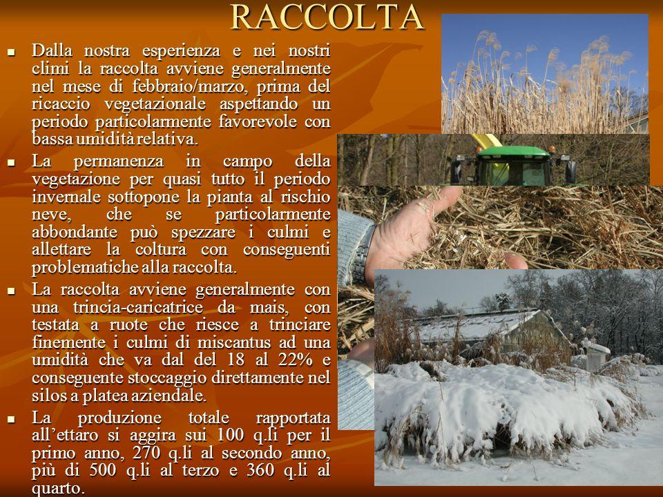 RACCOLTA Dalla nostra esperienza e nei nostri climi la raccolta avviene generalmente nel mese di febbraio/marzo, prima del ricaccio vegetazionale aspe