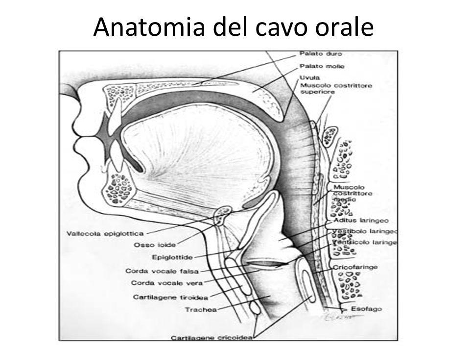 Anatomia del cavo orale