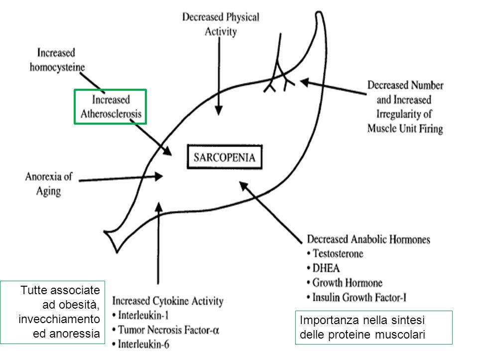 Importanza nella sintesi delle proteine muscolari Tutte associate ad obesità, invecchiamento ed anoressia