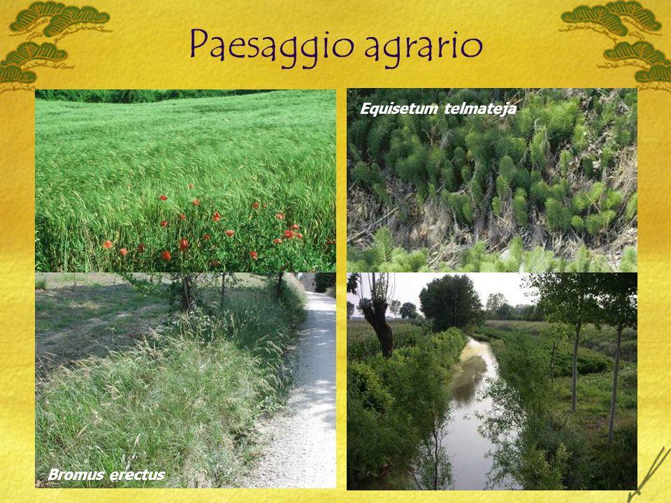 Paesaggio agrario Bromus erectus Equisetum telmateja