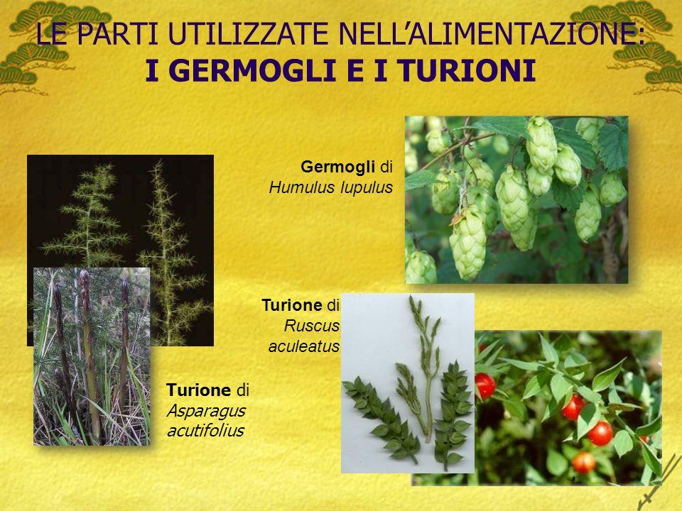 LE PARTI UTILIZZATE NELLALIMENTAZIONE: I GERMOGLI E I TURIONI Turione di Asparagus acutifolius Germogli di Humulus lupulus Turione di Ruscus aculeatus