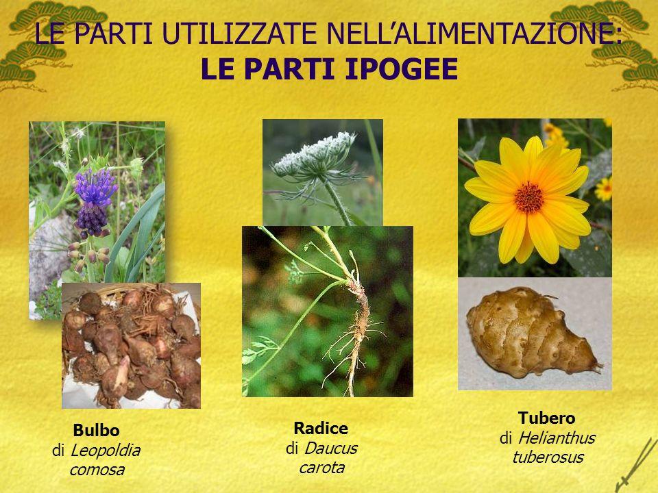 LE PARTI UTILIZZATE NELLALIMENTAZIONE: LE PARTI IPOGEE Bulbo di Leopoldia comosa Radice di Daucus carota Tubero di Helianthus tuberosus