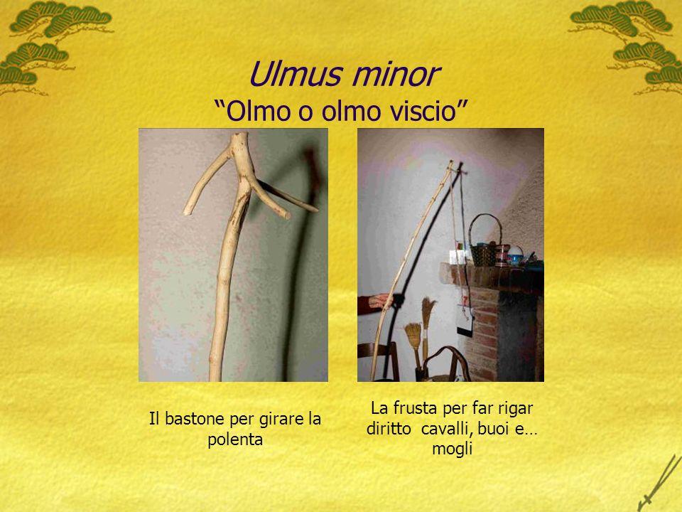 Ulmus minor Olmo o olmo viscio Il bastone per girare la polenta La frusta per far rigar diritto cavalli, buoi e… mogli