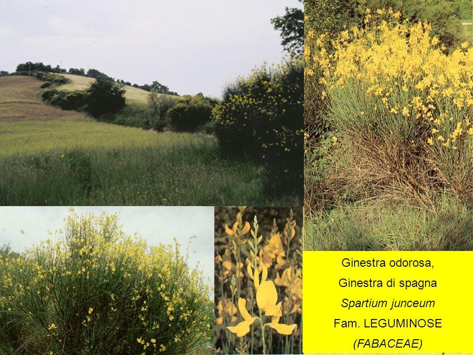 Ginestra odorosa, Ginestra di spagna Spartium junceum Fam. LEGUMINOSE (FABACEAE)