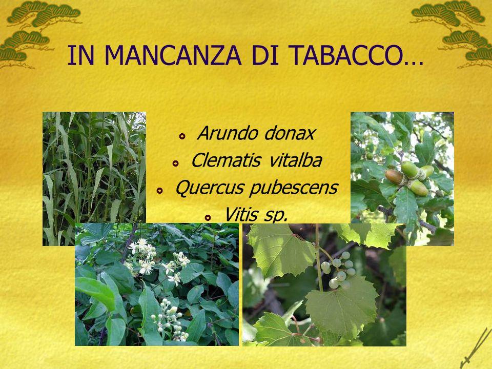 IN MANCANZA DI TABACCO… Arundo donax Clematis vitalba Quercus pubescens Vitis sp.