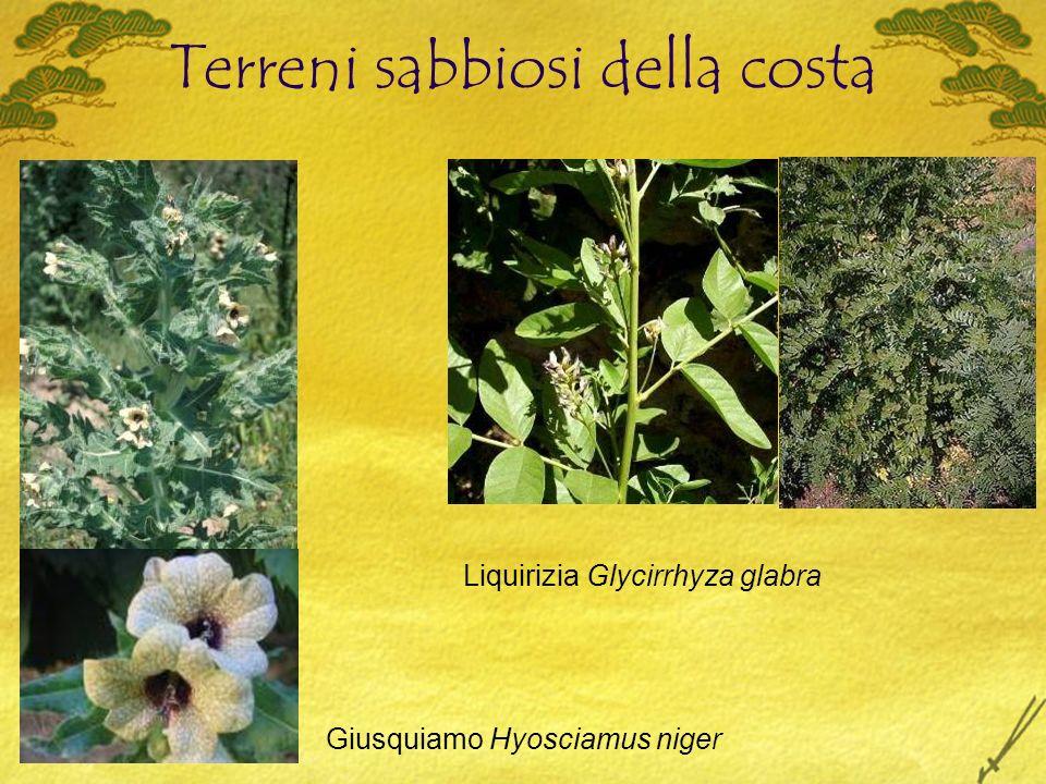 Terreni sabbiosi della costa Giusquiamo Hyosciamus niger Liquirizia Glycirrhyza glabra