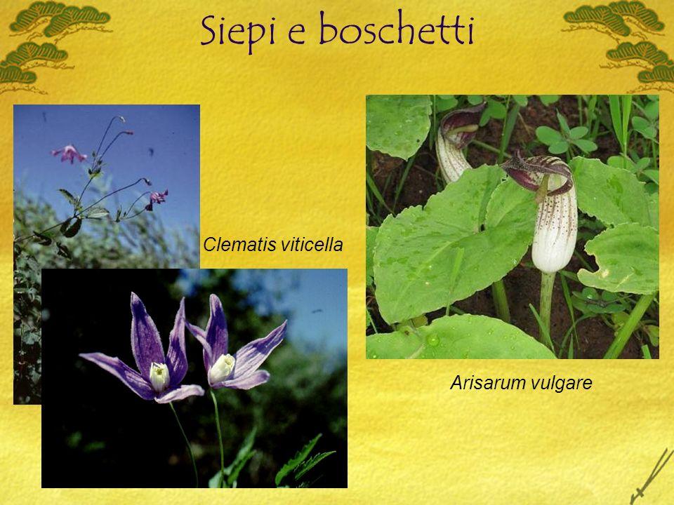 Siepi e boschetti Arisarum vulgare Clematis viticella