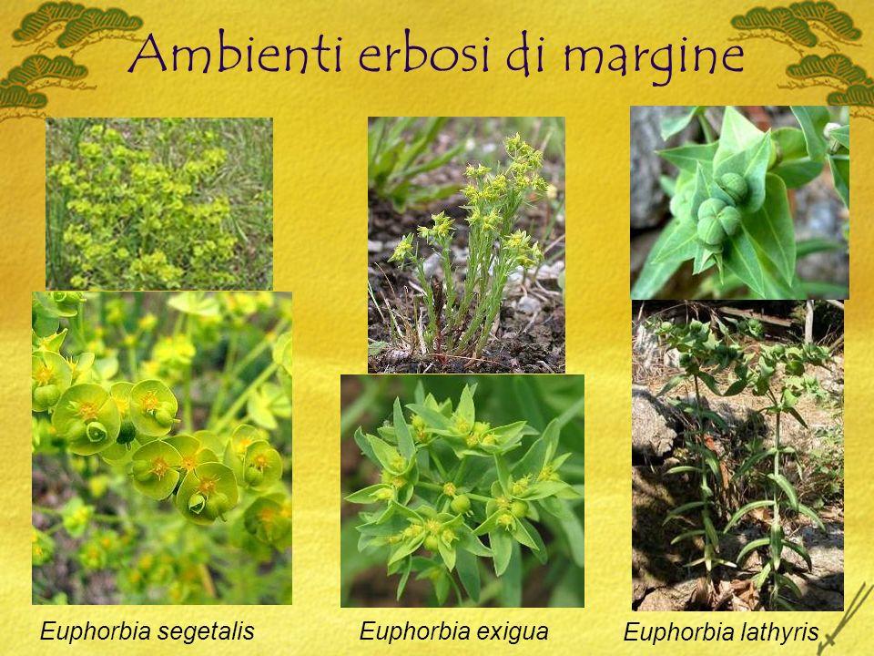 Ambienti erbosi di margine Euphorbia segetalisEuphorbia exigua Euphorbia lathyris