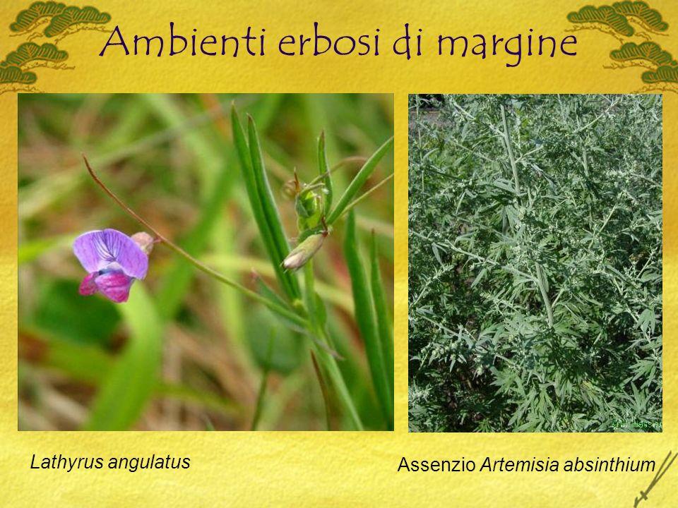Ambienti erbosi di margine Lathyrus angulatus Assenzio Artemisia absinthium