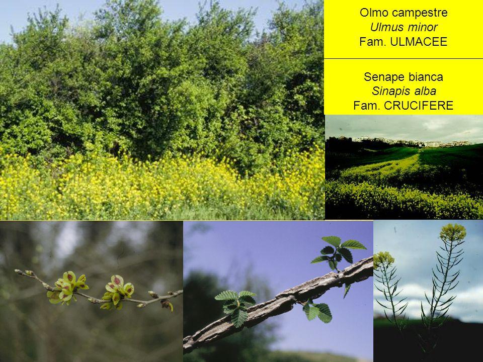 Olmo campestre Ulmus minor Fam. ULMACEE Senape bianca Sinapis alba Fam. CRUCIFERE