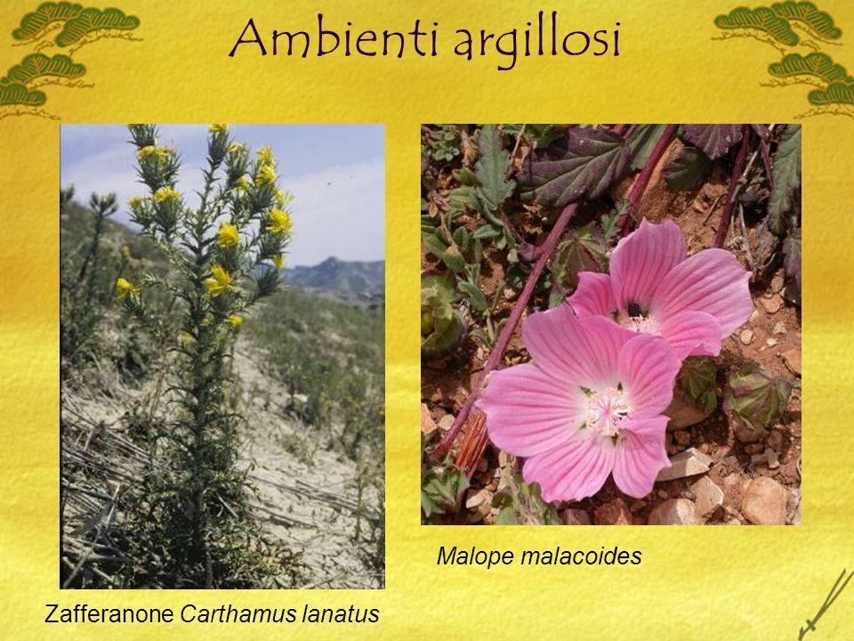 Ambienti argillosi Zafferanone Carthamus lanatus Malope malacoides