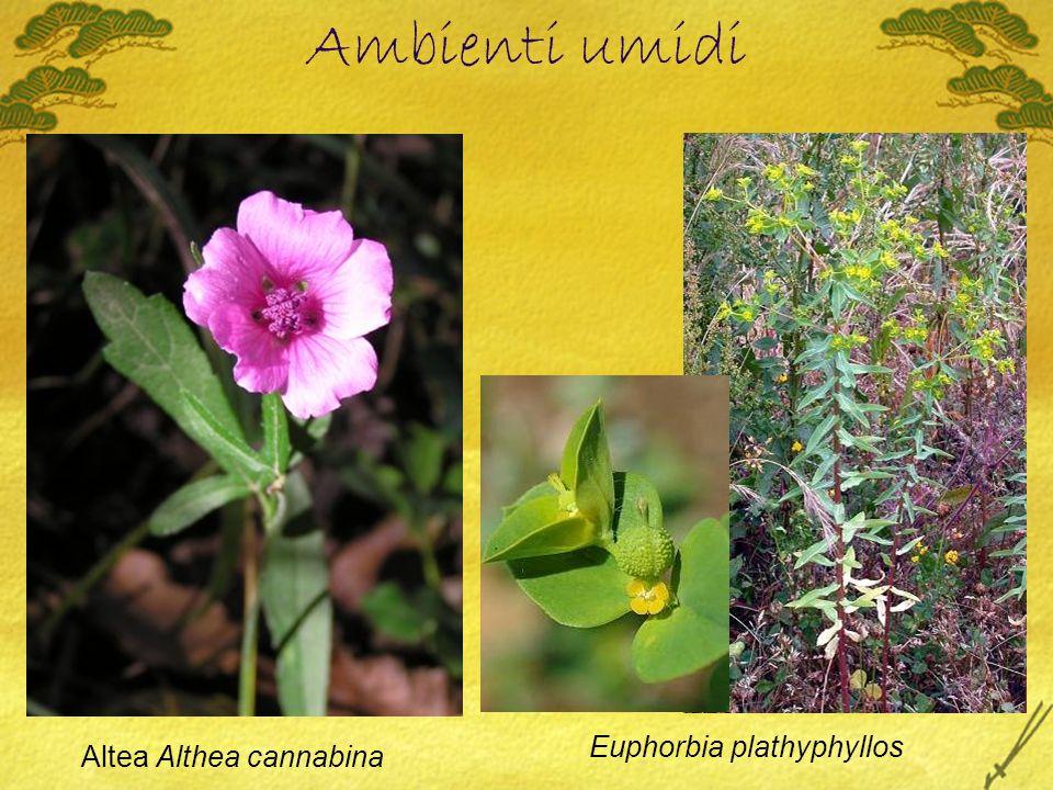 Ambienti umidi Altea Althea cannabina Euphorbia plathyphyllos
