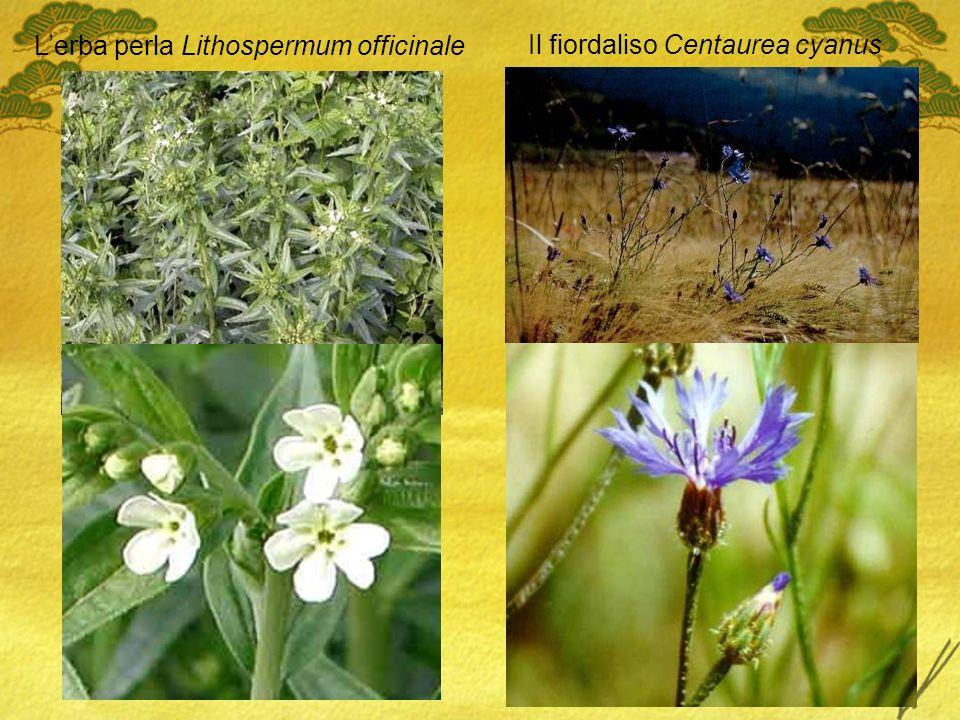 Il fiordaliso Centaurea cyanus Lerba perla Lithospermum officinale