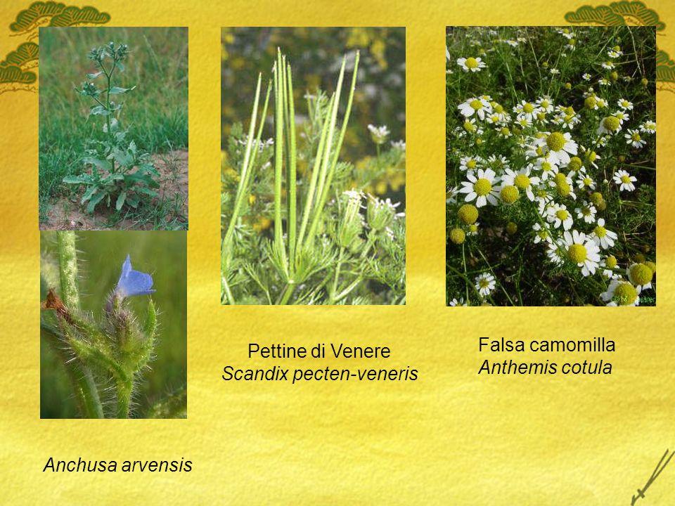 Anchusa arvensis Falsa camomilla Anthemis cotula Pettine di Venere Scandix pecten-veneris