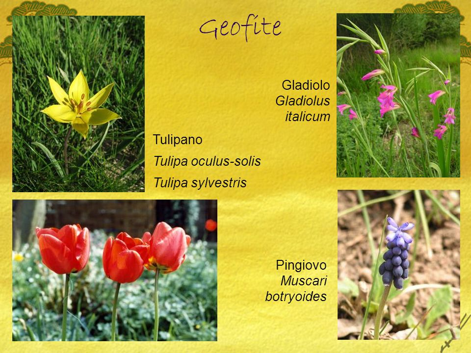 Tulipano Tulipa oculus-solis Tulipa sylvestris Gladiolo Gladiolus italicum Pingiovo Muscari botryoides Geofite