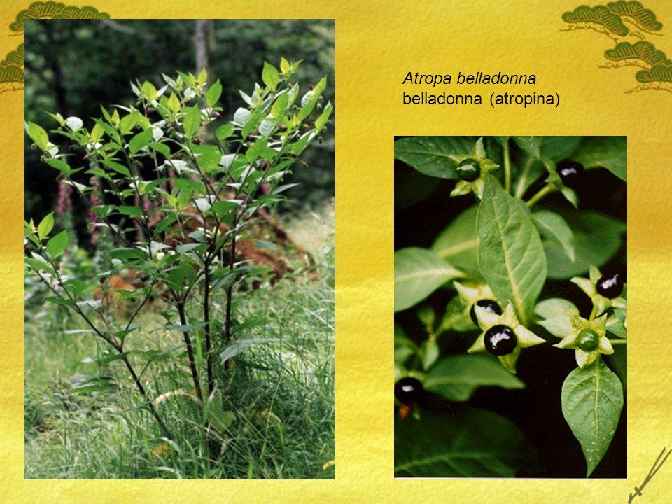 Atropa belladonna belladonna (atropina)
