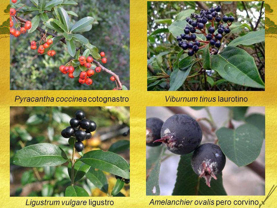 Pyracantha coccinea cotognastro Viburnum tinus laurotino Ligustrum vulgare ligustro Amelanchier ovalis pero corvino