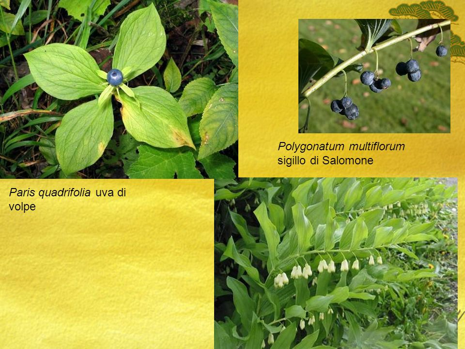 Polygonatum multiflorum sigillo di Salomone Paris quadrifolia uva di volpe